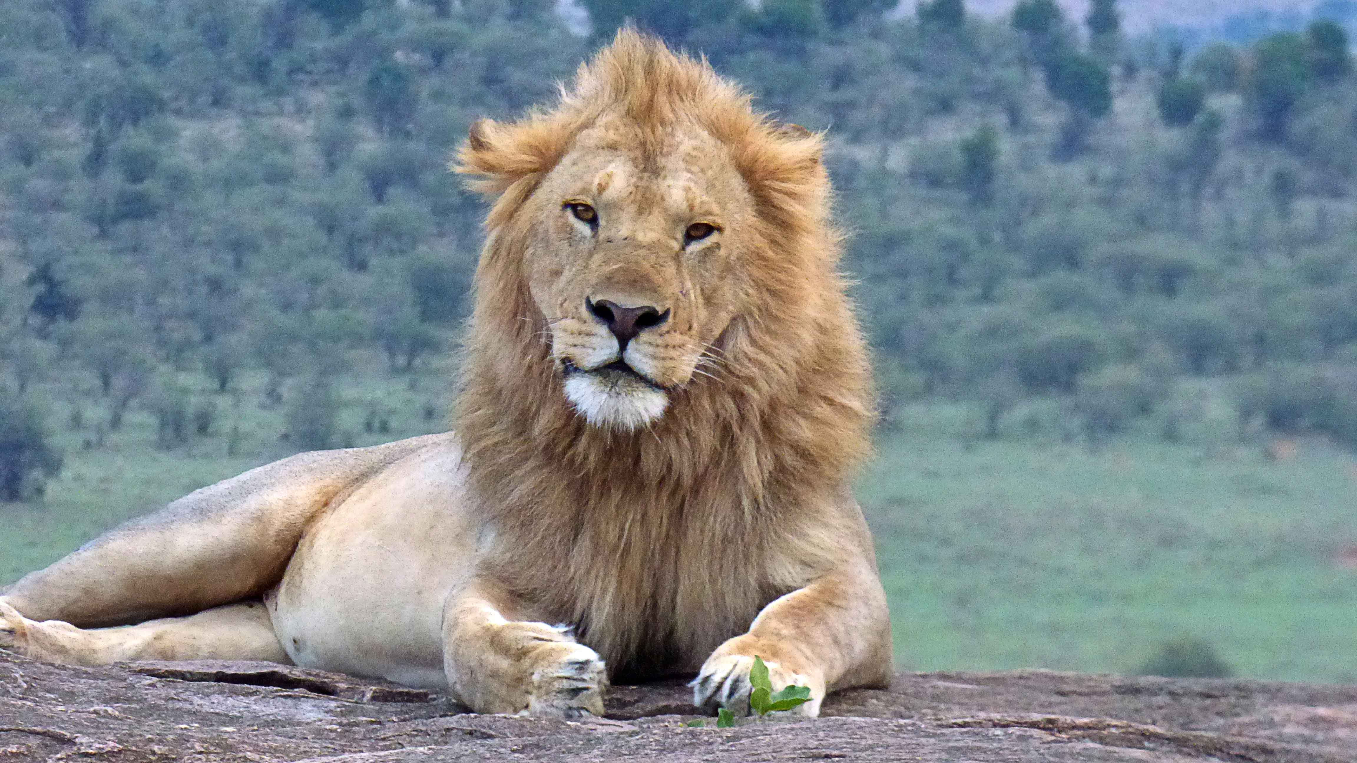 leon en el parque nacional de masai mara, kenia