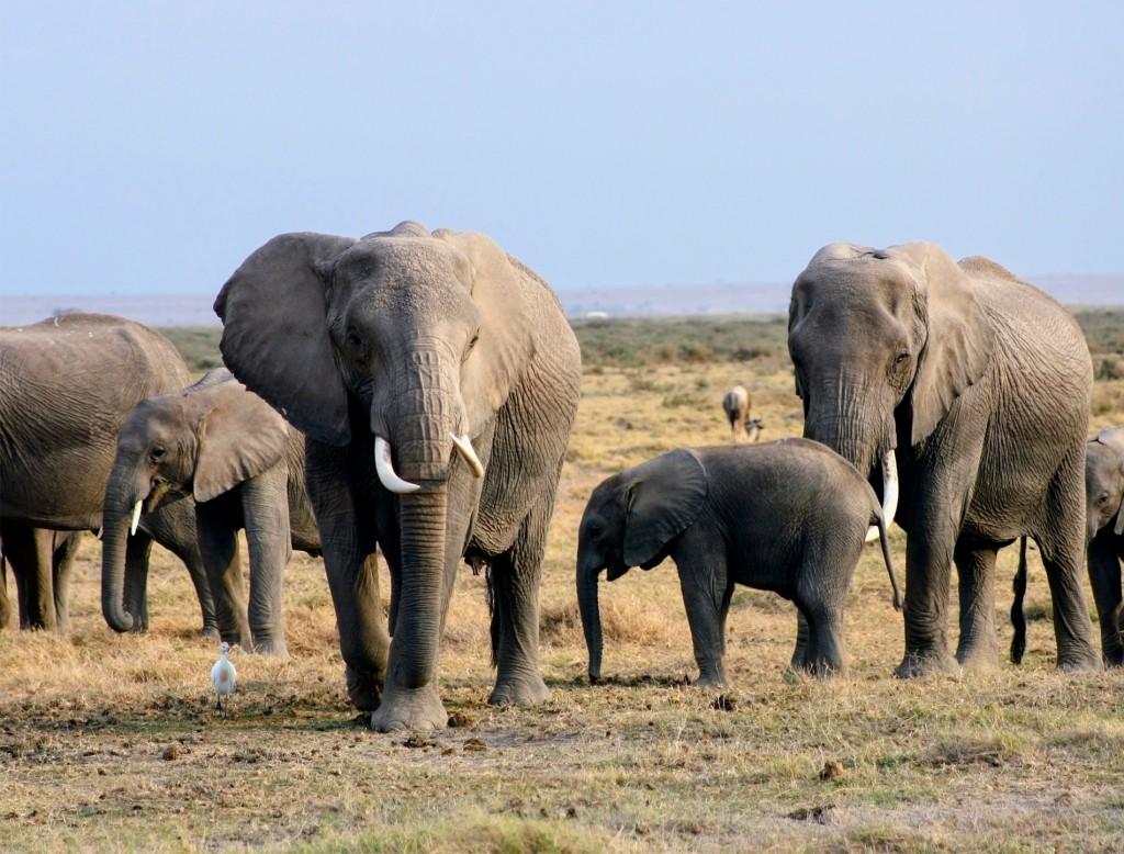 manada de elefantes en la reserva nacional de amboseli