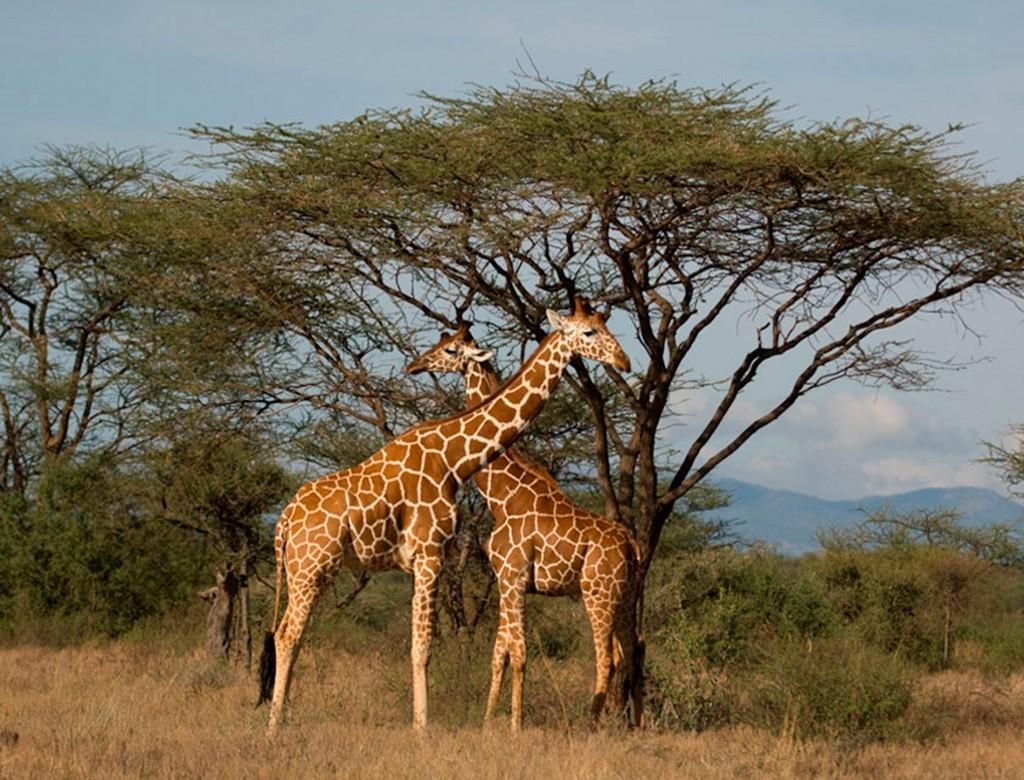 jirafa en la reserva nacional del masai mara, kenia