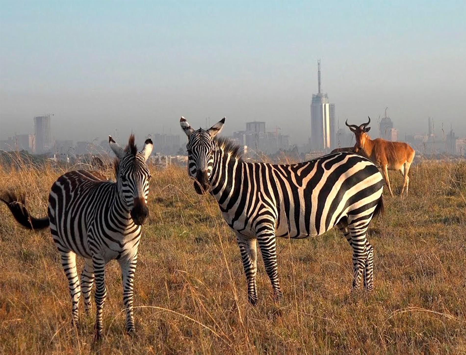 cebras en el parque nacional de nairobi, kenia