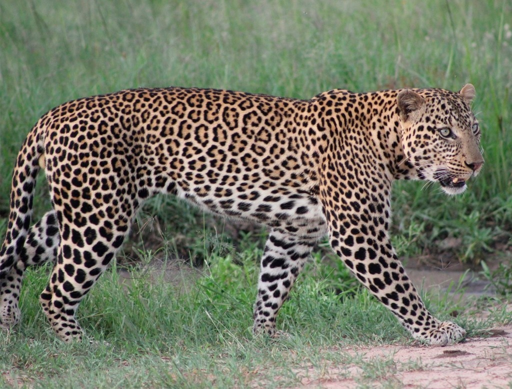 leopardo en la reserva nacional del masai mara, kenia