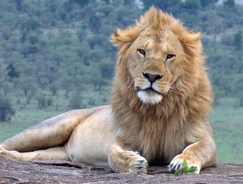 leon en el parque nacional de nakuru, kenia