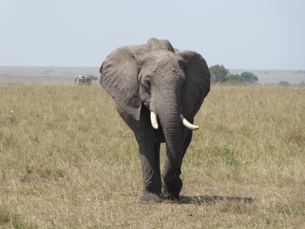 elefante en la reserva nacional dell masai mara