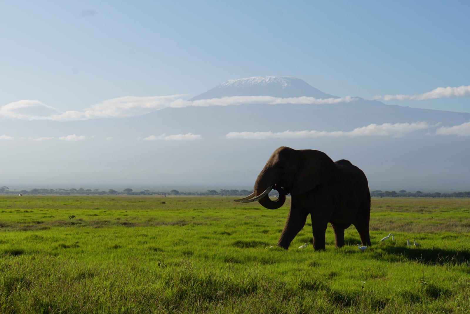 elefante en amboseli con el monte kilimanjaro de fondo