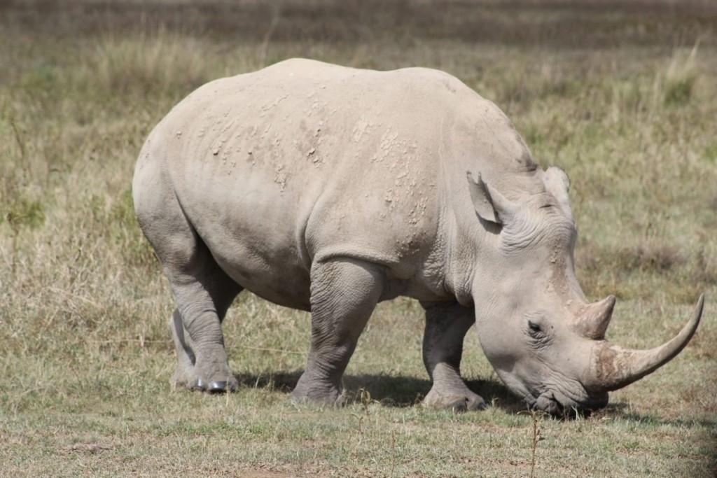 rinoceronte blanco en nakuru, kenia