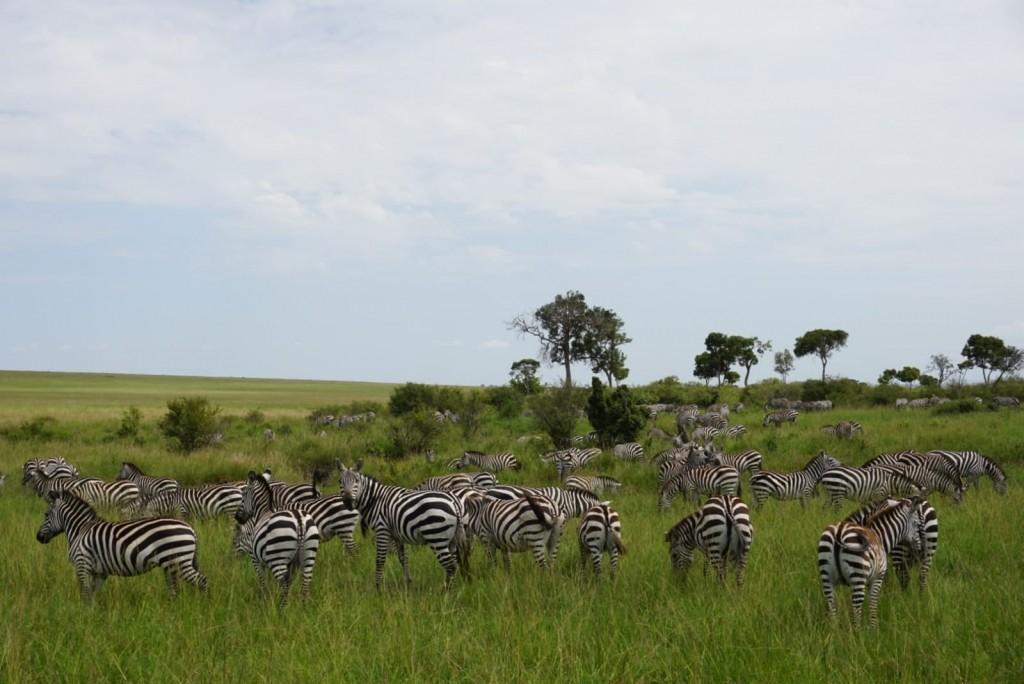 cebras en el parque nacional del masai mara, kenia