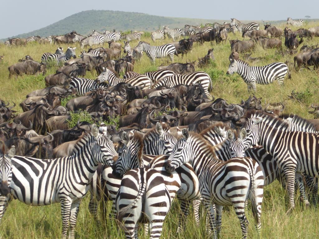 cebras y ñus en la gran migración en el masai mara, kenia