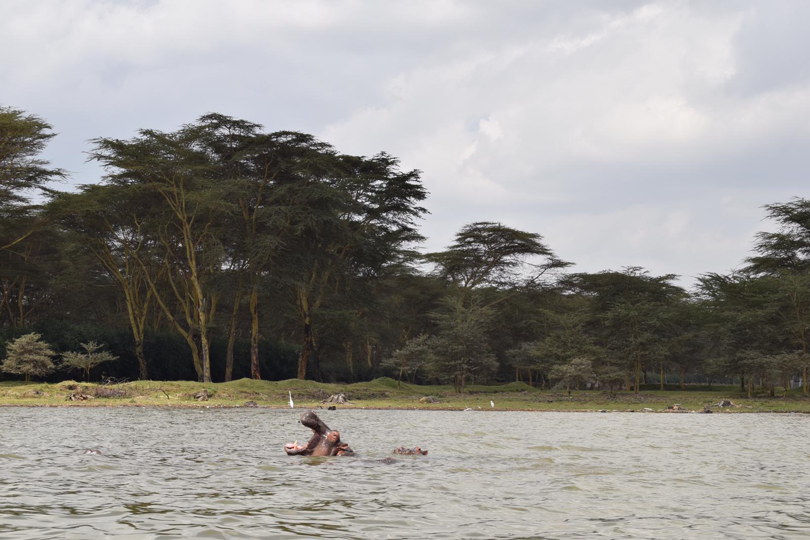 hipopótamos en el lago naivasha, kenia